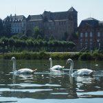 Swans at Saverne