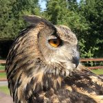 Birds of Prey at Ardare Manor – amazing!